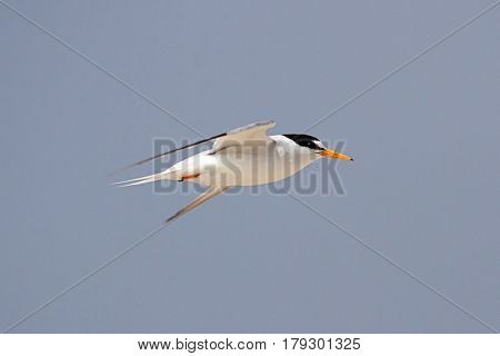 Federally Endangered Least Tern (Sterna antillarum) in flight over the beach with a blue sky background