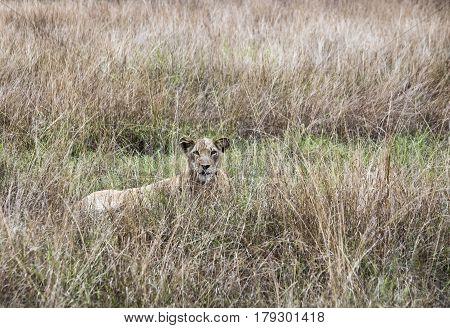 Lioness Laying Queen Elizabeth National Park, Uganda