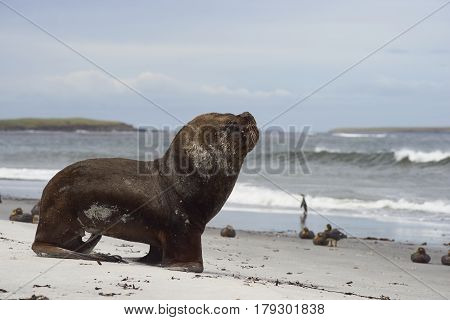 Large male Southern Sea Lion (Otaria flavescens) heading into the sea on the coast of Sealion Island in the Falkland Islands.