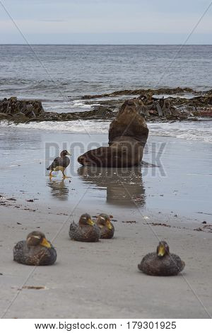 Large male Southern Sea Lion (Otaria flavescens) resting in the surf on the coast of Sealion Island in the Falkland Islands. Group of Falkland Steamer Ducks (Tachyeres brachypterus) in the foreground.