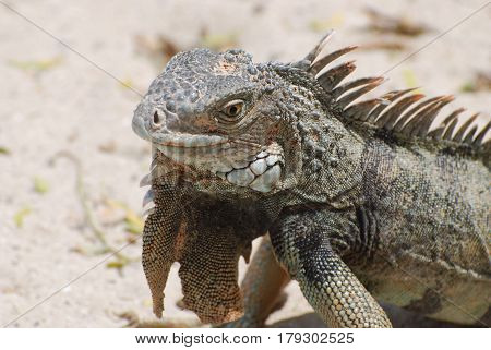 Posing gray iguana with lots of spines along it's back.