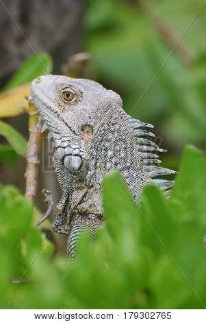 Great profile of an iguana perched atop a green bush.