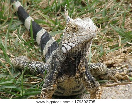 Getting personal with an iguana up close.