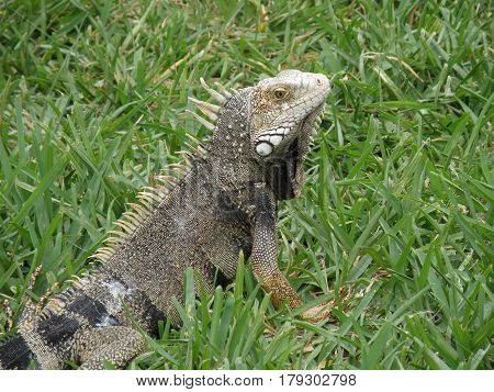 Amazing look at an iguana posing in thick green grass.