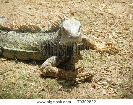 Really great common iguana with thorny spikes on his back.