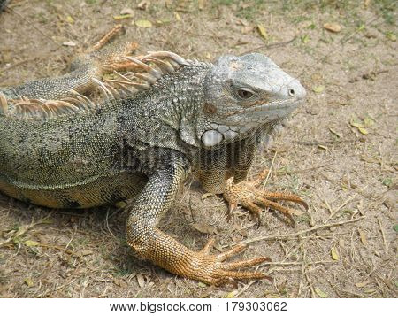 Amazing iguanas in the outdoors with spines along his back.