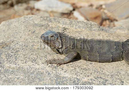 Gray iguana resting and sunning on a large rock.