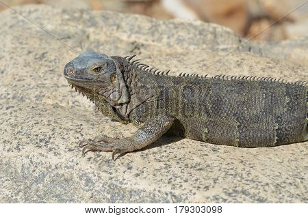 Amazing gray iguana sitting on a rock in Aruba.