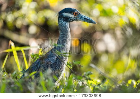 Yellow crowned night heron (Nyctanassa violacea) in the wild, with green grass background