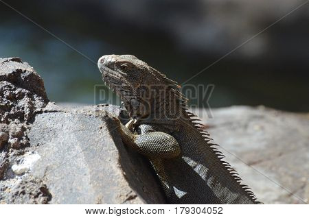 Amazing iguana with spines along his back perched on a rock.