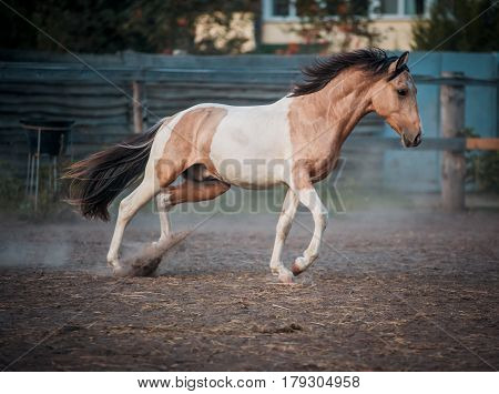 Peggy horse beautifully runs on freedom at sunset