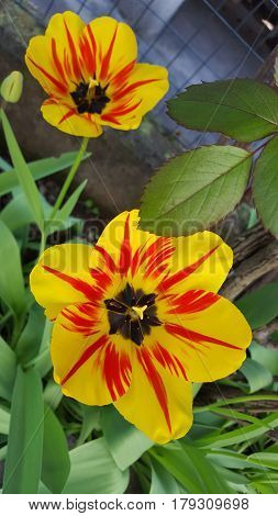 Beautiful yellow and red streaks tulip flowers