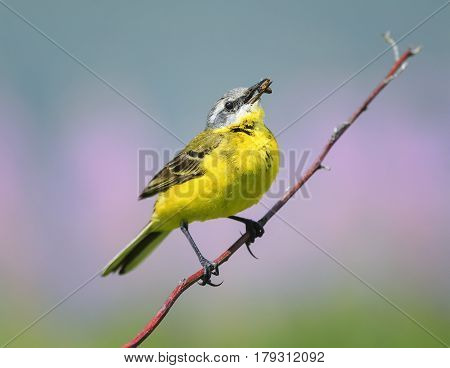 bird yellow Wagtail sitting on a meadow on a branch with insect in its beak