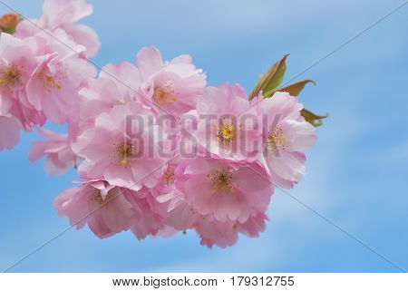 Beautiful flowers of sakura against the blue sky