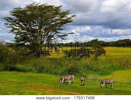 Zebras. Zebras eating grass. Zebras in Mukuvusi Woodlands. Zebras in Zimbabwe. Beautiful scenery of zebras. Zebras in Africa. Zebra family. Zebras in park.