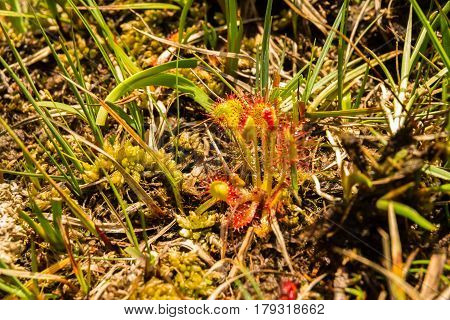 Round Leaved Or Common Sundew, Drosera Rotundifolia