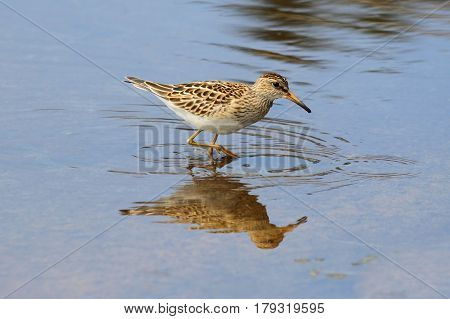 Pectoral Sandpiper (Calidris melanotos) by the Pacific Ocean