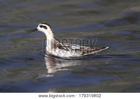 Red-necked Phalarope (Phalaropus lobatus) swimming in the Pacific Ocean