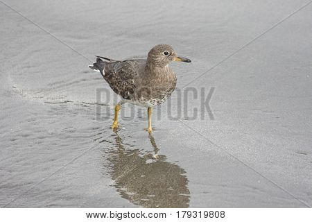 Rock Sandpiper (Calidris ptilocnemis) by the Pacific Ocean