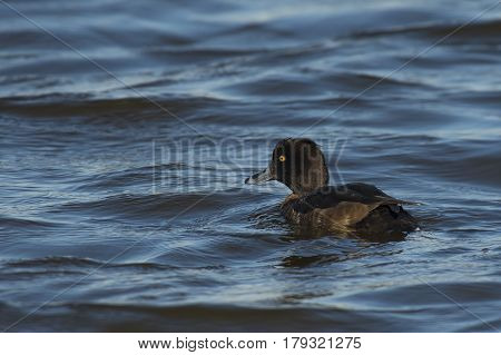Tufted Duck (Aythya fuligula) female swimming in rough water of a Lake on a windy afternoon in March