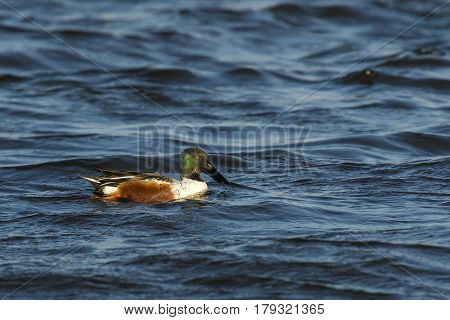 Northern Shoveler (Anas clypeata) drake swimming in rough water on a windy afternoon in March