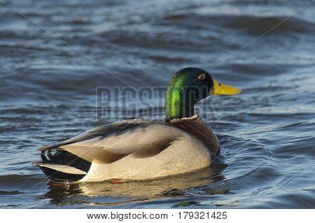 Mallard (Anas platyrhynchos) drake swimming in water of a Lake