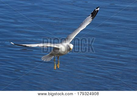 A ring billed gull flying over a pond