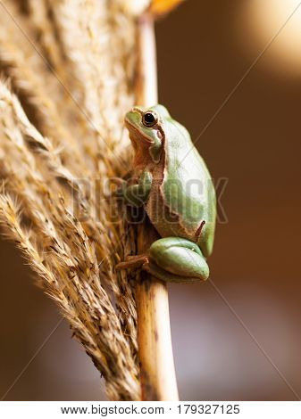 Common tree frog climbing up the reed Hyla arborea