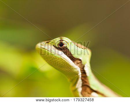 Head of Serated Caquehesd Iguana on the leaf - Laemanctus serratus