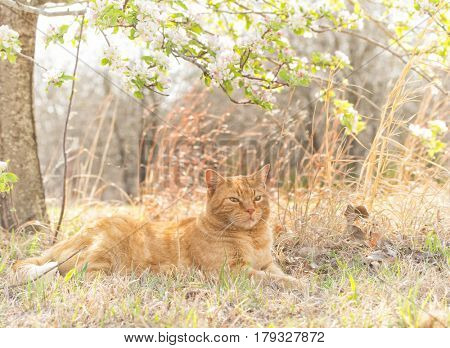 Ginger tabby cat resting under a blossoming apple tree on a sunny spring day, back lit by sun