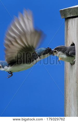 Tree Swallow (tachycineta bicolor) feeding hungry babies