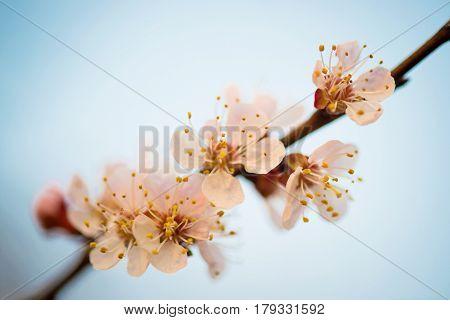 Cherry blossom, sakura flowers isolated on white background.