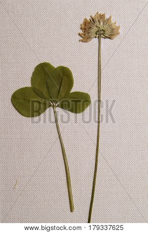 Real Four Leaf Clover Petals On Long Stems And White Flower Clover On A Background Canvas Texture.