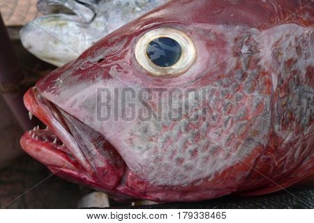 Portrait Head Of A Large Deep-water Tropical Fish With Maroon And Gray Gleam On The Scales, Yellow E