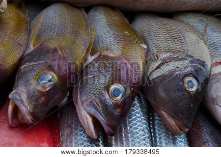 Three Exotic Sea Fish With A Head Maroon Body And Shiny Greenish Scales, Eyes Bright Colors Of Aquam