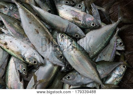 Lots Of Fish Production On A Brown Background Of The Earth: Gray Herring, With Shiny Scales And Pink