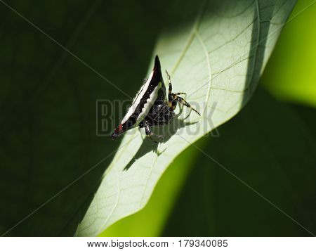 Exotic Tropical Spider, Triangular Body Black Color And White Stripes Sits On A Green Plant Leaf.