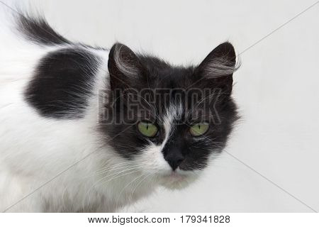 Portrait Of A Cat Black And White Wool Colors: Black Head And Black Spots On The Body, Piercing Gree