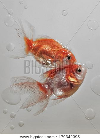Two Gold Fish Touch Each Other's Heads, Red Bodies, White Transparent Fins, Around A Lot Of Air Bubb