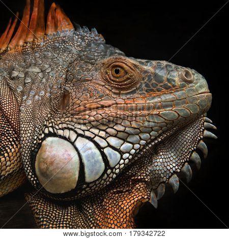 Portrait Of A Large Lizard Reptile Iguana In Profile, Texture Mesh Rough Skin, Skin Color Green, Ora
