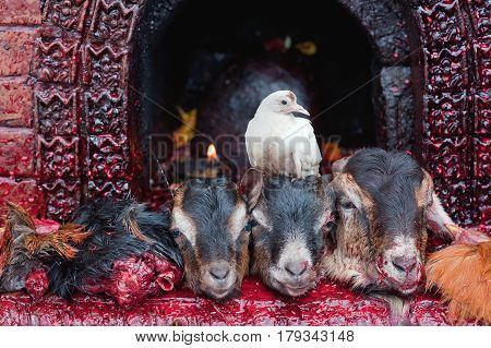 Sacrifice In Manakamana Hindu Temple In Nepal: The Altar Lay A Bloodied Severed Heads Goats, And The