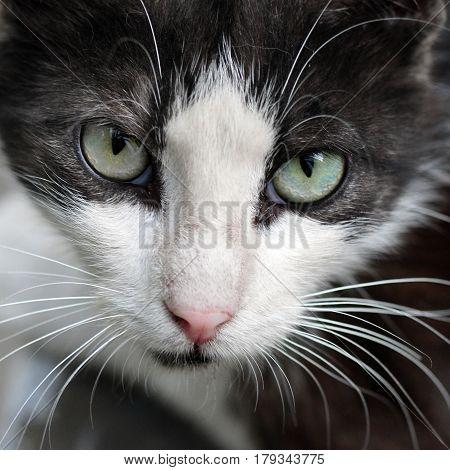 Street Cat, Wool Black And White, Long White Mustache, Green Eyes.