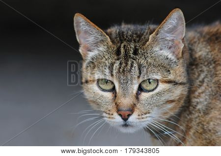 Homeless Yard Cat With Watchful Eyes, Gray Hair And Little Red Color, Green Eyes, Gray Background, T