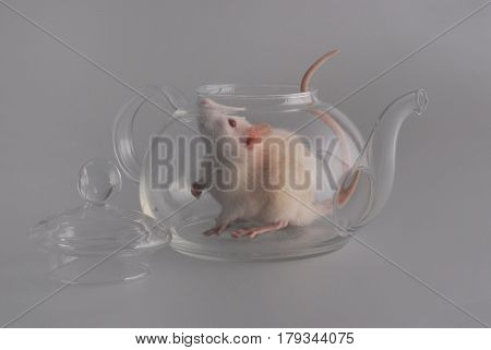 Large white domestic rat with a pink nose eyes and tail sits inside a transparent glass teapot next is a lid from the teapot on the gray background.