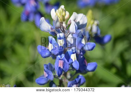 Texas bluebonnet, close up, in the Spring
