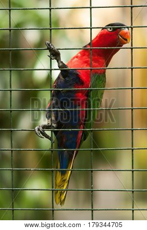 Tropical Bird Parrot In A Metal Cage, Holds Its Paws Behind The Bars, Plumage Of Various Colors: Red