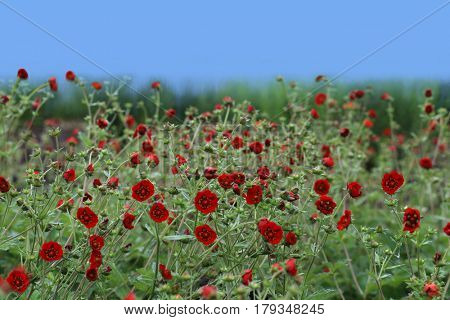 Geum chiloense Red Dragon flower on the field