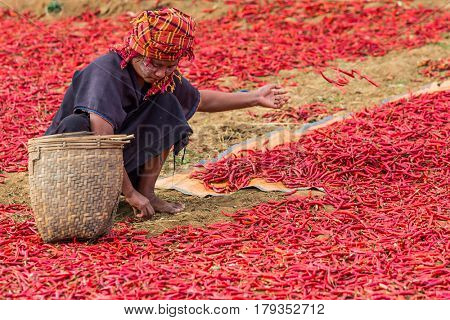KALAW, MYANMAR - DECEMBER 07, 2016 : woman tribe harvesting red chili near Kalaw Shan state in Myanmar