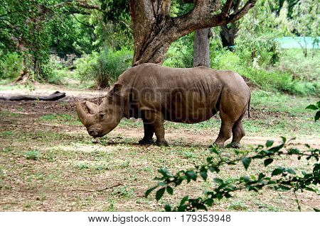 Strolling rhinoceros at Zoological Park in India Asia