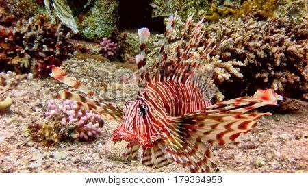 Big Lionfish In The Red Sea.